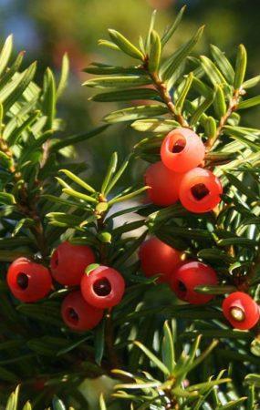 Nacentech cây thông đỏ